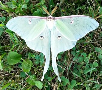 luna_moth_340x300