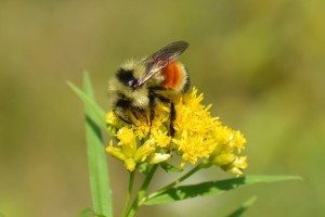 tricolored-bumble