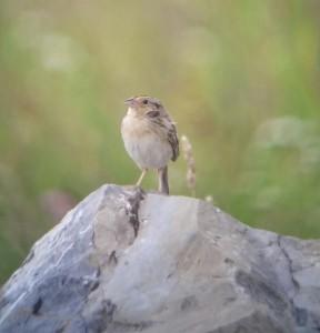 grasshopper-sparrow-sgnwr
