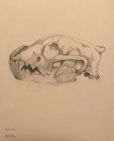 Wolverine Skull by Matt Goldwitz