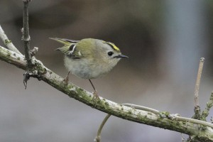 gc-kinglet-med-schoenberger