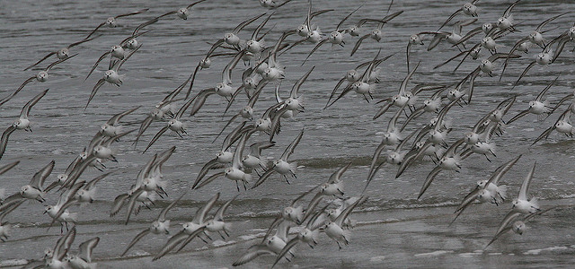 sanderlings_schoenberger