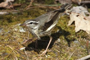 louisiana_waterthrush_schoenberger